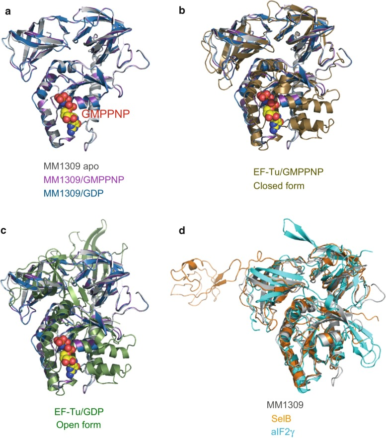 Superposition of MM1309 with EF-Tu, aSelB, and aIF2γ, represented by ribbon models. a Superposition of the MM1309 structures in the GMPPNP-bound, GDP-bound, and apo forms. b Superposition of MM1309 with T. aquaticus EF-Tu in the GTP-bound form (PDB code: 1TTT). c Superposition of MM1309 with T. aquaticus EF-Tu in the GDP-bound form (PDB code: 1TUI). d Superposition of MM1309 with M. maripaludis aSelB (PDB code: 4ACA) and with P. abyssi aIF2γ (PDB code: 1KK0)