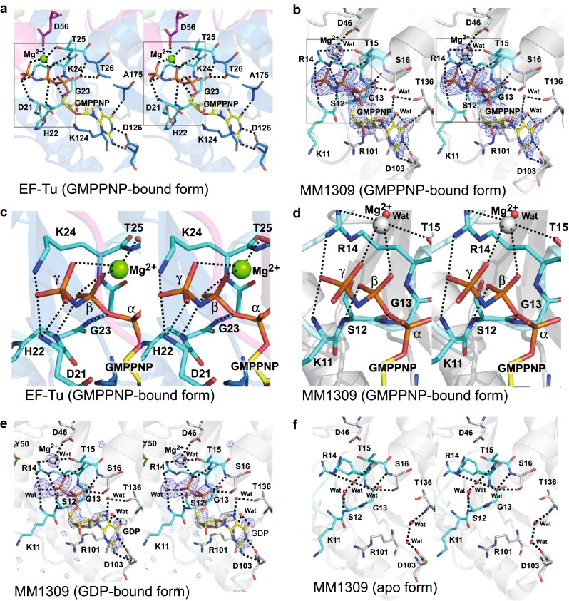 Stereo views of the GTP binding sites. a The bound GMPPNP molecule in the T. aquaticus EF-Tu·GMPPNP·Mg 2+ structure. b The bound GMPPNP molecule in the MM1309·GMPPNP·Mg 2+ structure. The F o – F c omit map (contoured at 3.3 σ) of the bound GMPPNP·Mg 2+ in the MM1309 active site. c , d Close-up stereo views around the γ-phosphate group of the bound GMPPNP in T. aquaticus EF-Tu·GMPPNP·Mg 2+ ( c ) and MM1309·GMPPNP·Mg 2+ ( d ). The amino acid residues surrounding the phosphate groups and the magnesium ions of the bound GMPPNP·Mg 2+ are depicted by stick models. e The bound GDP molecule in the MM1309·GDP structure. The F o – F c omit map (contoured at 4.0 σ) of the bound GDP·Mg 2+ in the MM1309 active site. f The GTP binding site in the MM1309 apo form. The MM1309 residues that are located close to the bound guanine nucleotide are represented as stick models. The P-loop motifs (Gly17–Thr25 in EF-Tu and Gly7–Thr15 in MM1309) are shown in sky blue . The switch I regions are colored pink . Transparent ribbon models of EF-Tu ( blue ) and MM1309 ( white ) are visible in the background