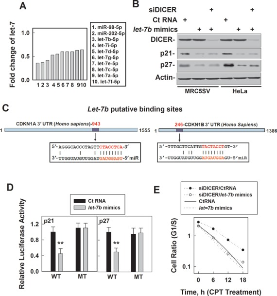Knockdown of DICER-upregulated p21 waf1/Cip1 and p27/ Kip1 is due to the reduction of biogenesis of let-7 . ( A ) Fold reduction of the human let-7 family members from the microArray of miRNAs from MRC5SV cells treated with siDICER compared with the cells treated with CtRNA. Whole RNA was extracted from the cells and 1 μg of RNA was used for miRNA microarray by LC Sciences Inc. ( B ) The effects of let-7b mimics on p21 and p27 expression in the cells with or without DICER knockdown. MRC5SV and HeLa cells were treated with control RNA or siDICER with or without let-7 mimics for 60 h and then the cells were collected for immunoblot detection. ( C ) Description of potential let-7b binding sites at the 3′-UTR of p21 (left) or p27 (right). ( D ) Relative luciferase activities were detected in 293FT cells treated with CtRNA or let-7 mimics at 48 h after transfection with the luciferase reporter vector containing either the wild type 3′-UTR of p21 or p27 (WT) or the 3′-UTR mutated (MT) at the potential binding site for let-7 (p21: mutated CTACCT to GATGGA; p27: mutated CTACCT to GATGGA). The data presented are the mean ± SD from three independent experiments that the authors carried out, ** P