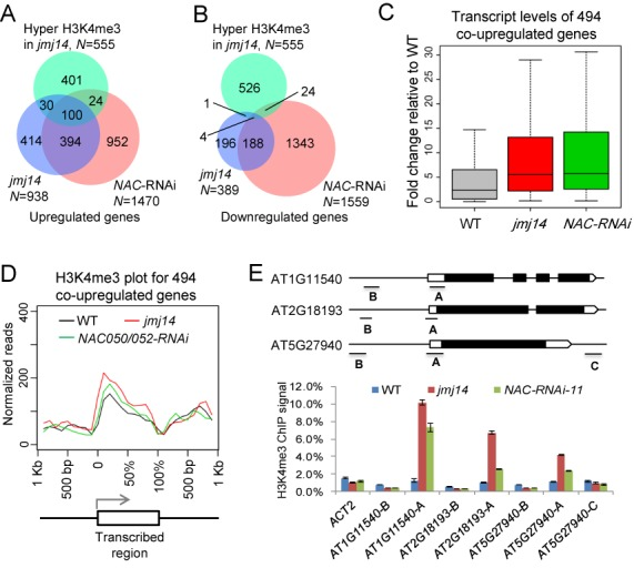 Effect of jmj14 and NAC050/052-RNAi on H3K4me3 as determined by ChIP-seq. (A and B) Venn diagrams showing the overlap between the H3K4me3 hypermethylated genes in jmj14 and the upregulated (A) or downregulated genes (B) in jmj14 and NAC050/052-RNAi plants. (C) Box plot showing the effect of jmj14 and NAC050/052-RNAi on gene expression for 494 co-upregulated genes in jmj14 and nac050/052-RNAi . (D) H3K4me3 of the 494 overlapping upregulated genes in jmj14 and NAC050/052-RNAi plants was plotted for the transcription regions along with the 1-kb upstream and downstream flanking regions. The y -axis indicates the normalized reads number. (E) H3K4me3 hypermethylated genes identified by ChIP-seq were confirmed by ChIP-PCR in the WT, jmj14 and NAC050/052-RNAi plants. Diagrams show positions of all DNA fragments amplified in the ChIP-PCR assay. The hypermethylated sites include AT1G11540-A, AT2G18193-A and AT5G27940-A . The sites that are adjacent to the H3K4me3 hypermethylated regions were used as negative controls. These sites are AT1G11540-B, AT2G18193-B, AT5G27940-B and AT5G27940-C . Two-week-old seedlings were used for ChIP-seq and ChIP-PCR.