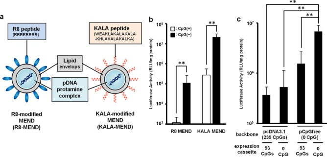Gene expression efficacies of MENDs in BMDCs. ( a ) Schematic diagram of the R8-MEND (left) and KALA-MEND (right). ( b ) The R8-MEND and KALA-MEND encapsulating a conventional pDNA <t>(pcDNA3.1-Luc;</t> opened bar) or CpG-free pDNA (pCpGfree-Luc(0); closed bar) were transfected to BMDCs. Data were presented as the mean ± SD of three independent experiments. Statistical differences were evaluated by one-way ANOVA, followed by Student's t -test (** P