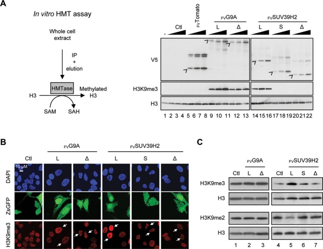 Inclusion of SUV39H2 exon 3 is required to encode an active histone methyltransferase. ( A ) In vitro analysis of the methyltransferase activity associated to each FV G9A and FV SUV39H2 isoforms. Scheme of the in vitro histone methyltransferase (HMT) assay procedure (left panel). Various quantities of purified FV G9A and FV SUV39H2 (right panel) were incubated with the recombinant human histone H3.1 and S-adénosylméthionine (SAM) producing methylated H3.1 and S-adenosylhomocysteine (SAH). Histone H3 and H3K9me3 were analyzed by western blot using specific antibodies (right panel). Control reactions were supplemented with FV Tomato, water (-) or sample issued from blank purification procedure (Ctl). Levels of recombinant proteins were estimated using V5 antibody. ( B ) and ( C ) H3K9me3 was assessed in HeLa cells after expression of FV G9A and FV SUV39H2 isoforms. (B) DNA was counterstained with DAPI (blue), H3K9me3 was immunostained with a specific antibody (red) and cells expressing FV G9A and FV SUV39H2 were revealed with ZsGreen1 Fluorescence Protein (ZsGFP panel; labeled with white arrows in H3K9me3 panel). (C) Analysis of H3K9me3, H3K9me2 and H3 levels by western blot in total protein extracts of HeLa cells expressing FV G9A and FV SUV39H2 isoforms.