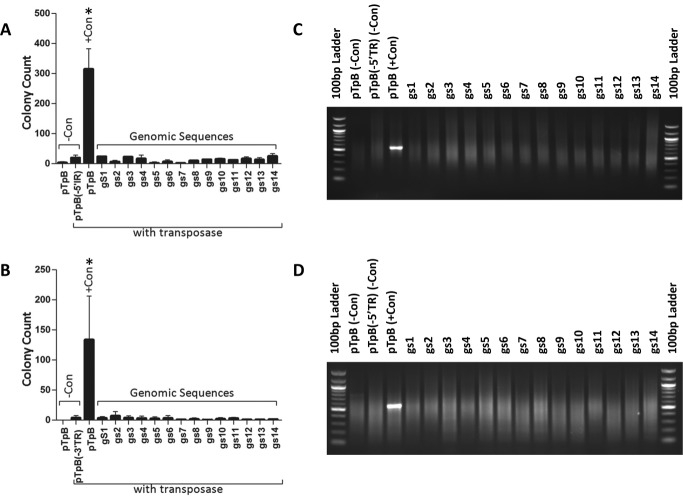 piggyBac does not mobilize endogenous human TR-like sequences. 5′ or 3′ native TRs were replaced with PCR amplified genomic sequences. ( A ) and ( B ) The colony count was used as a measure of stable transposition. Only the native 5′ ( A ) or 3′ ( B ) in presence of the transposase leads to efficient and stable transposition in HEK293 cells. Elimination of the TRs or the transposase led to significantly reduced transposition and serve as negative controls. Genomic sequences similar to the piggyBac TRS did not lead to efficient and stable transposition and were comparable to the negative controls ( N = 3 independent experiments, ANOVA with Bonferroni post-test; *, statistically different from negative control). An excision assay was used to determine whether a transposon is recognized and excised out of the vector by the transposase. A transposon with native TR sequences was efficiently recognized and excised by the piggyBac transposase, so a PCR product was visible on the agarose gels shown (pTpB lanes). Transposons carrying the Genomic TR-like sequences were not recognized and excised from the transposon either in the 5′ ( C ) or 3′ ( D ) position.