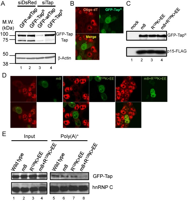( A ) Indicated siRNAs were transfected to 293F cells. At 36 h after the siRNA transfection, GFP-fusion vectors encoding wild type and siRNA-resistant Tap (Tap R ) were transfected along with a p15-FLAG expression vector. At 24 h after the second transfection, total cell lysates were prepared and they were subjected to western blot using anti-Tap (upper panel) and anti-β-actin (lower panel) antibodies. Positions of molecular weight markers are shown on the left in kDa. ( B ) 293F cells treated as in (A) were fixed and subjected to in situ hybridization using Cy3-labeled oligo-dT 50 probe. The cells were observed by a confocal microscopy. ( C ) GFP-Tap R fusion vectors harboring point mutations in the NTF2L (m8) and RRM (R 128 K > EE) domains or both (m8+R 128 K > EE) were transfected to 293F cells along with a p15-FLAG expression vector. Total cell extracts prepared at 48 h post transfection were subjected to western blot using anti-GFP (upper panel) and anti-FLAG (lower panel) antibodies. ( D ) Same as in (B), but the GFP-Tap R variants used in (C) were expressed instead of the wild-type protein. ( E ) 293F cells expressing the indicated GFP fusion proteins were irradiated with UV light. Whole cell extracts were prepared and poly (A) + RNA was purified by oligo-dT cellulose chromatography. RNase A-treated whole cell extracts (input) and poly (A) + RNA fractions were analyzed by western blot using anti-GFP (upper panels) and anti-hnRNP C (lower panels) antibodies.
