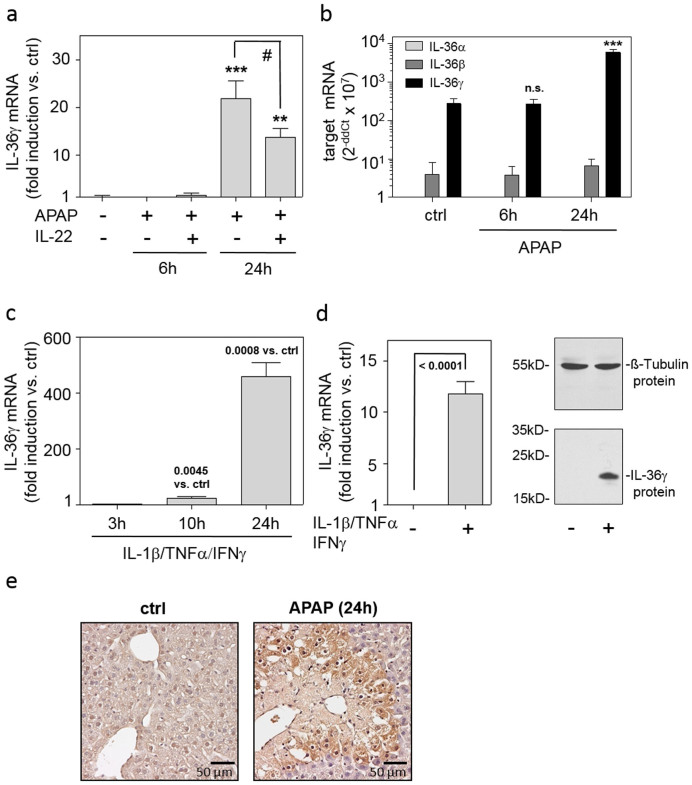 Expression of IL-36γ in murine APAP-induced liver injury and inflamed hepatocytes. (ab) Mice received PBS (n = 6) or APAP or (where indicated) APAP/IL-22 (6 h (n = 6), 24 h (n = 9)). (a) Hepatic IL-36γ mRNA was determined by realtime PCR. Target mRNA was normalized to that of GAPDH (means ± SEM versus ctrl; ** p