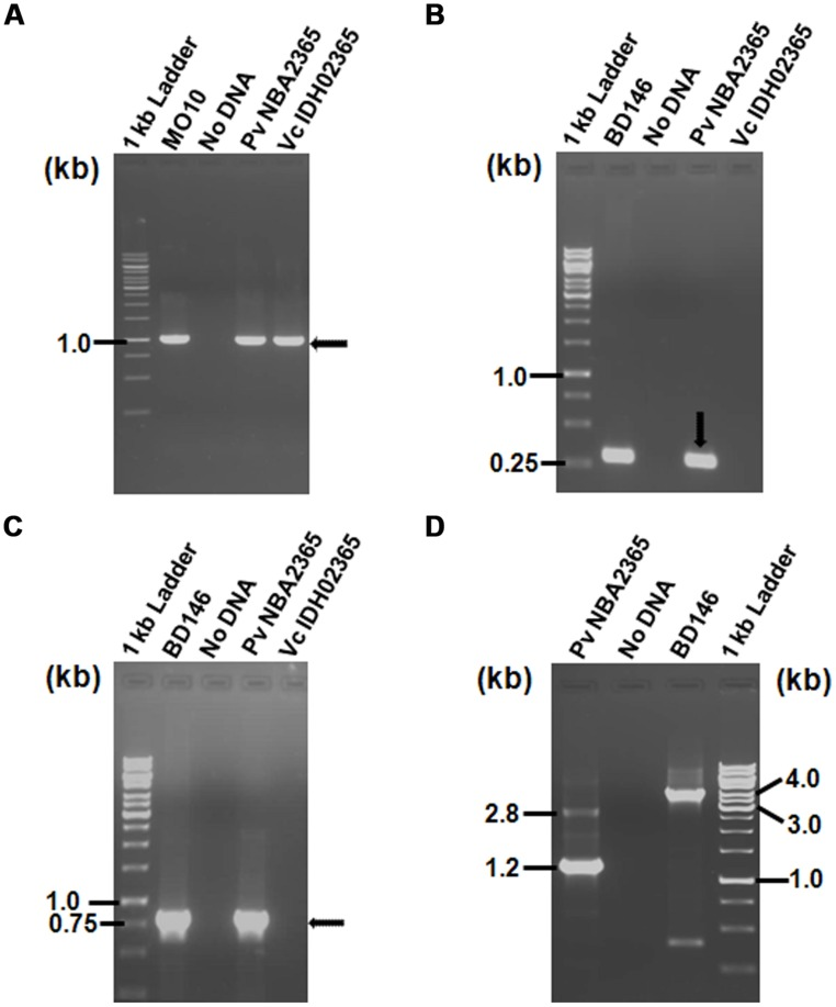 Agarose gel (1%) of <t>PCR</t> products for analysis of SXT element and class 1 integron showing amplification with (A) primer pair SXT-F/SXT-R for detection of SXT integrase; (B) primer pair L2/L3 for detection of 5′ CS of class 1 integron; (C) primer pair qacEΔ1-F/Sul1-B for amplification of 3′ CS of class 1 integron; (D) primer pair In-F/In-B for amplification of variable regions associated with class 1 integrons. All the <t>DNA</t> samples used as templates are indicated on top of each lane. V. cholerae MO10 and V. fluvialis BD146 were used as controls for various PCR assays. Marker positions in kb have been indicated in the left of each panel. Arrows indicate the position of relevant amplicons for each PCR.