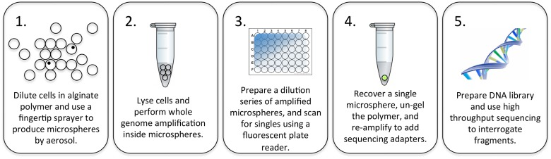 Illustration of the process workflow. 1.) Cells are diluted in alginate polymer to a concentration of approximately 10 5 cells per microliter, resulting in a 10% occupancy rate in 100 μm microspheres. 2.) Cells are lysed using heat, and the bulk microsphere solids are mixed with reagents for a 2-step whole genome amplification reaction. 3.) After amplification, microspheres are diluted to extinction in a 384 well plate, and scanned for presence of single microspheres that fluoresce with PicoGreen DNA stain. 4.) An isolated microsphere is transferred to a fresh tube and the DNA products are recovered by dissolving the alginate matrix. These amplified products are submitted to further rounds of amplification to add sequencing adapters. 5.) The products are prepared for high throughput sequencing using the Illumina MiSeq platform. Intermediate steps include fluorescence microscopy and quantitative PCR for quality control.