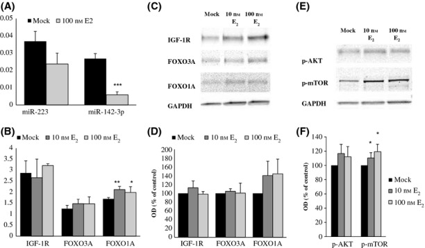 The effects of estrogen stimulation on the expression of miR-182, miR-223, and miR-142-3p and their targets in infant female quadriceps femoris -derived myoblasts. (A) Quantitative PCR analyses of miRNA transcripts normalized with RNU44 in human myoblasts treated for 72 h with 100 n m estradiol or mock. Note: The expression of miR-182 in these myoblasts was too low to be accurately measured. (B) qPCR analyses of target mRNAs (IGF-1, FOXO3A, FOXO1A) in human myoblasts treated with 10 n m and 100 n m estradiol or mock for 72 h. (C) Representative Western blots of target proteins, IGF-1R, FOXO3A and FOXO1A, and GAPDH, in human myoblasts treated with 10 n m and 100 n m estradiol or mock for 72 h. (D) Densitometry data of Western blots normalized with GAPDH. (E) Representative Western blots showing phosphorylation of <t>AKT</t> and <t>mTOR</t> proteins in myoblasts treated with 10 n m and 100 n m estradiol or mock for 72 h. (F) Densitometry data of Western blots normalized with GAPDH. Data are presented as percentage of control (mock) and reported as means ± SD of three independent experiments. OD indicates optical density. t -test, *** P