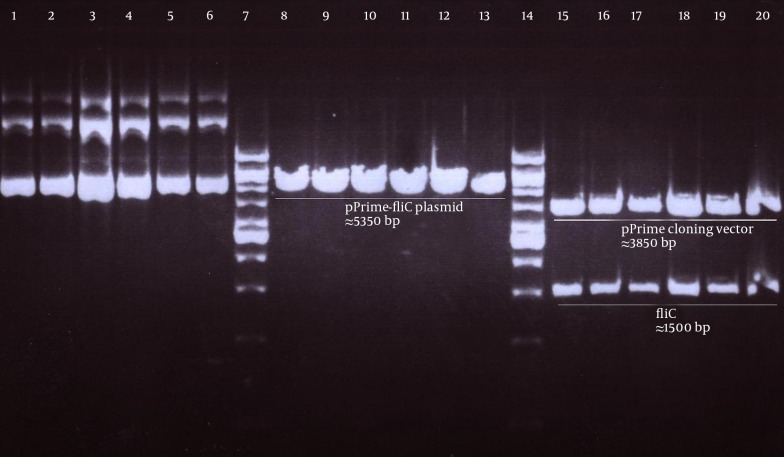 Electrophoresis of pPrime- fliC Recombinant Plasmids From White Colonies on 1% Agarose Gel Lane 1 to 6: extracted Pprime- fliC plasmids; Lane 8 to 13: Pprime- fliC plasmids digested by XhoI; Lane 15 to 20: Pprime- fliC plasmids digested by XhoI and NheI; Lane 7 and 14: 1 Kbp DNA ladder vivantis.