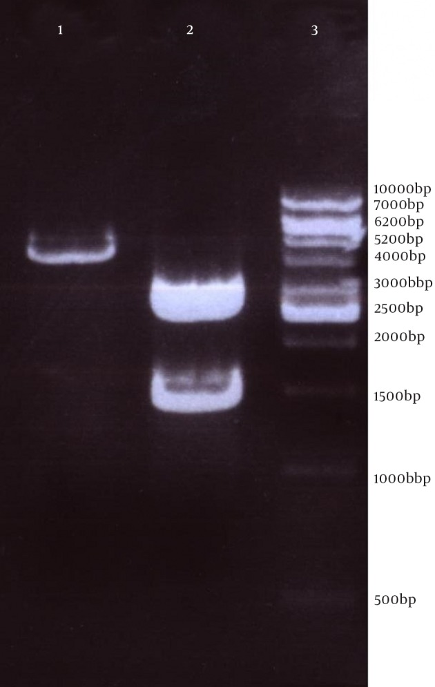 AgaroseGel Electrophoresis of Restriction Enzyme Digestion of Purified pVAX- fliC Recombinant Plasmid Lane 1: pVAX- fliC plasmid digested by XhoI had one band (4419 bp); Lane 2: Double Digestion by NheI and XhoI on pVAX- fliC plasmid had two bands that were 1509 bp (down) and 2910 bp (up); Lane 3: 1 Kbp DNA ladder Vivantis.