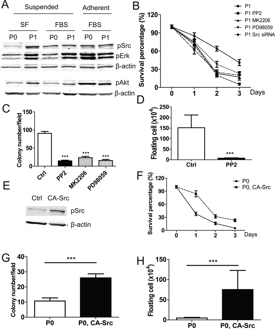Src/Akt/Erk signaling was constitutively activated and functionally involved in anoikis resistance in ID8-P1 cells A. pSrc, pAkt, pErk levels in ID8-P0 and ID8-P1 cells under different culture conditions by Western blot analyses. B. Survival of ID8-P1 cells under suspended conditions treated with Src siRNA (100 µM) and selective inhibitors: PP2 (10 µM), <t>MK2206</t> (1 µM), PD98059 (30 µM). C. Quantification of soft agar colony numbers of ID8-P1 cells treated with inhibitors. D. Number of floating ID8-P1 cells in mouse peritoneal cavities treated with the Src selective inhibitor PP2 (daily i.p. injection at a dose of 2 mg/kg, n=3). E–G . Ectopic expression of CA-Src in ID8-P0 increased anoikis resistance. E. pSrc levels in ID8-P0 and ID8-P0-CA-Src cells by Western blot analyses. F. Anoikis assays of ID8-P0 and ID8-P0-CA-Src cells in SF medium. G. Colony formation of ID8-P0 and ID8-P0-CA-Src cells in soft agar. H. Numbers of floating ID8-P0 and ID8-P0-CA-Src cells in mouse peritoneal cavities. * P