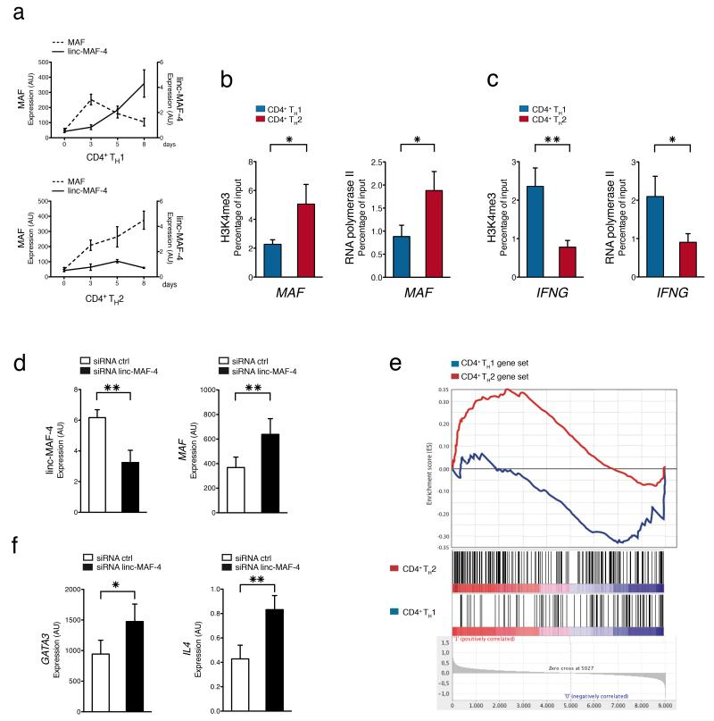 <t>Linc-MAF-4</t> contributes to T H 1 cell differentiation ( a ) Expression of linc-MAF-4 and MAF assessed at different time points by RT-qPCR in activated CD4 + naïve T cells differentiated in T H 1 or T H 2 polarizing conditions (average of four technical replicates ± SEM). See also Supplementary Fig. 4 b,c . ( b ) ChIP-qPCR analysis of H3K4me3 and RNA polymerase II occupancy at MAF locus in CD4 + naïve T cells differentiated in T H 1 or T H 2 polarizing conditions at day 8 post-activation. Enrichment is a percentage of input (average of at least 5 independent experiments ± SEM). One-tailed t -test * P