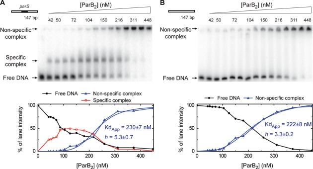 Specific binding of ParB to the parS sequence. Electrophoretic mobility shift assay of ParB binding to a radiolabelled 147-bp substrate in a magnesium acetate containing gel-running buffer. ( A ) Titration of ParB on DNA containing a single parS site in the centre. ( B ) ParB titration on an equivalent substrate that is lacking a parS site (see Supplementary Table S1 for details). The species assigned as specific and non-specific complexes are labelled. The lower panels show the quantification of the gels revealing a highly sigmoidal pattern for non-specific binding. These data were fit to Equation ( 1 ) to yield the values shown.