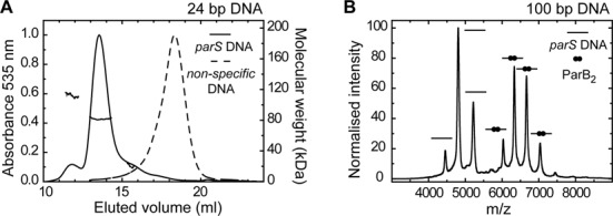 The stoichiometry of the ParB– parS complex. ( A ) Binding of ParB 2 (9 μM) to 24-bp Hex-labelled DNA (10 μM) analysed by SEC-MALS. Only DNA-containing species were observed by monitoring the (normalized) absorbance at 535 nm. With a parS containing DNA substrate (solid line) the major complex has a calculated Mw of 81.6 ± 1.9 kDa, consistent with a single ParB dimer bound to DNA. A lower abundance species is also seen with a calculated Mw of 112.1 ± 3. In contrast, ParB is unable to bind a non-specific substrate (dotted line). In that case, the DNA is found in a late eluting peak, for which no weight could be assigned due to poor light scattering. ( B ) Native-mass spectrometry of ParB binding to a 100-bp substrate containing a single parS sequence predominantly showed a single dimer bound to the DNA, as well as free DNA. The peak assignments are indicated using cartoons on the graph. Binding of ParB to non-specific DNA was not observed.