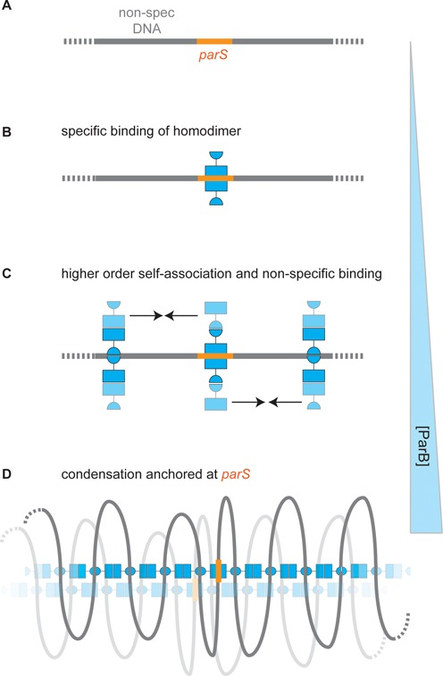 Specific and non-specific binding of DNA by ParB: a speculative model for spreading at parS sites. ( A ) A region of a DNA molecule containing a specific binding site is shown. ( B ) Specific binding. At low concentrations, ParB binds to parS sequences via the central helix-turn-helix motifs to form a ParB 2 :DNA complex (supporting data in Figures 1 , 3 and 4 ). ( C ) Non-specific DNA binding. Elevated concentrations of ParB allow co-operative non-specific binding via a second (hypothetical) DNA binding domain (supporting data in Figures 1 and 2 ). The continued self-association of ParB (indicated with arrows) via at least two interfaces subsequently leads to formation of higher order networks and DNA condensation. This transition is not dependent on the presence of parS . ( D ) The condensed nucleoprotein network (supporting data in Figures 5 – 8 ) may contain both specific and non-specific DNA binding sites (see main text for justification) that trap loops of DNA that are anchored around parS if the parS site is present. For simplicity, the specific binding sites for most of the ParB dimers are shown unoccupied. Such structures might bridge larger distances, including between distant parS loci, through the sharing of segments of DNA, or via additional protein:protein interactions (indicated with the faded nucleoprotein complex).