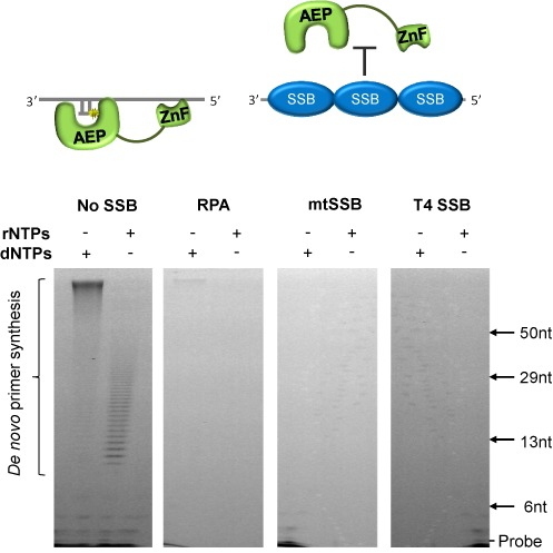 The effect of SSBs on the primase activity of human PrimPol. Single-stranded poly-dT templates (500 nM) were incubated with dNTPs or rNTPs (500 μM) and human PrimPol (1 μM), either alone or in the presence of RPA (8 μM), mtSSB (4 μM) or T4 SSB (8 μM) for 1 h at 37ºC (see 'Materials and Methods' for details). In the absence of SSBs PrimPol is capable of de novo primer synthesis using either dNTPs or rNTPs. However, when templates are coated with SSBs PrimPol is unable to synthesize primers. The schematic above represents how this inhibition is likely a result of RPA and mtSSB blocking PrimPol binding sites on the ssDNA.