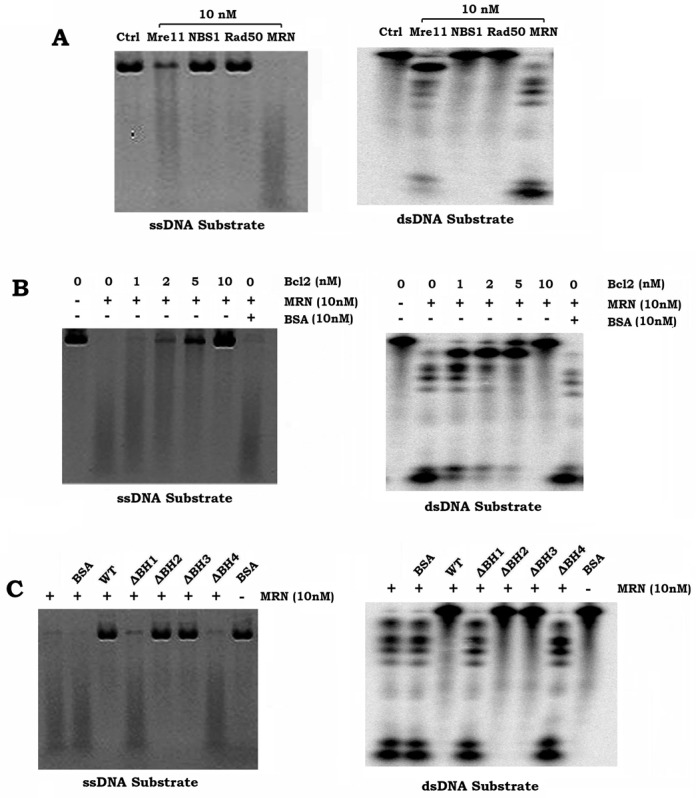 Bcl2 directly inhibits MRN-mediated DNA resection. ( A ) DNA resection activity of purified Mre11, Rad50, NBS1 and MRN complex were measured using PhiX174 circular ssDNA as substrate (left panel: endonuclease activity) and dsDNA as substrate (right panel: exonuclease activity). ( B ) DNA resection activity of MRN complex was measured in the absence or presence of increasing concentrations of purified Bcl2. BSA was used as control. ( C ) DNA resection activity of MRN complex was measured in the absence or presence of increasing concentrations of purified WT Bcl2 or Bcl2 BH deletion mutant protein(s).