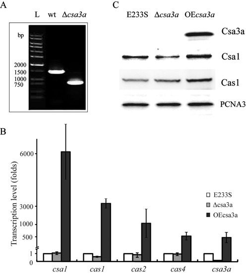 Effect of Csa3a on the expression of ac as genes. ( A ) PCR verification of the csa3a -deletion mutant. PCR products obtained using specific primers located upstream and downstream of csa3a gene from genomic DNAs of Sulfolobus islandicus E233S (wild-type) and the csa3a -deletion strain (Δ csa3a ). A DNA ladder was run in lane L as a size marker. ( B ) The relative transcription levels of csa3a, csa1, cas1, cas2 and cas4 in S. islandicus csa3a- overexpression (OE csa3a ) and csa3a -deletion (Δ csa3a ) strains after normalization to the level in S. islandicus E233S (wild-type) carrying empty vector pSeSD. ( C ) Western blot analysis of Csa3a, Csa1 and Cas1 protein expression levels in S. islandicus E233S (wild-type), csa3a overexpression (OE csa3a ) and csa3a -deletion (Δ csa3a ) strains. Antiserum against PCNA3 was used as a loading control.