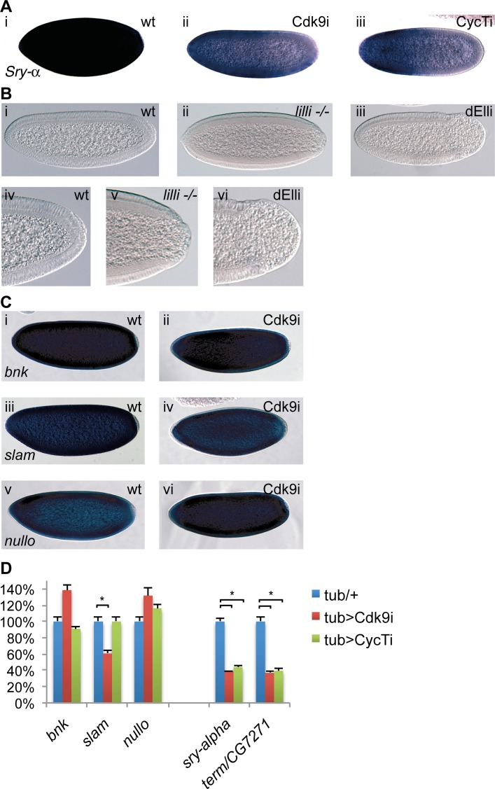 P-TEFb and the Super Elongation Complex (SEC) display similar phenotypes. ( A ) RNA in situ hybridization using a digoxigenin-labeled Serendipity-α (Sry-α) probe demonstrates decreased levels of Sry-α mRNA in embryos depleted of maternal <t>Cdk9</t> (ii) or Cyclin T (iii) compared to wild-type (i). ( B ) DIC micrographs of wild-type (wt, i), or embryos derived from females with germline clones of the SEC component dAFF4/Lilliputian ( lilli -/- , ii) or females expressing TubGal4 and a shmiRNA targeting the SEC subunit dEll (dELLi, iii) show the same posterior phenotype as in P-TEFb embryos. A close up of the same embryos is shown below (iv-vi). ( C ) Expression of the cellularization genes bottleneck ( bnk , i, ii), slow-as-molasses ( slam , iii, iv), and nullo (v, vi) is comparable between wild-type and embryos depleted of maternal Cdk9. ( D ) Quantification of cellularization gene expression by RT-qPCR. Columns show average values in 2–4h embryos with S.E.M. (n = 5–6) and control values were set to 100%. Relative expression was normalized to a mean of four reference genes ( beta-tubulin , GAPDH , RpL32 , and 28SrRNA ). *indicates P