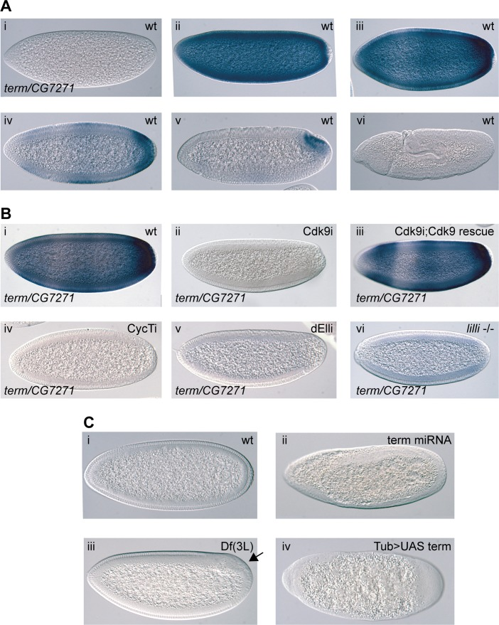 The P-TEFb and SEC-regulated gene terminus (term) is essential in early embryos. ( A ) In situ hybridization showing term/CG7271 expression in wild-type during different embryo stages (i-vi). The transcripts become concentrated to the posterior in cellularized embryos (iv and v) ( B ) Expression of term/CG7271 is severely reduced in embryos depleted of maternal Cdk9 (ii) compared to wild-type (i), and rescued by the miRNA-resistant transgene in Cdk9 embryos (iii). Greatly diminished term/CG7271 levels are also observed in embryos depleted of maternal CycT (iv) or dEll (v), and in embryos from lilli germline clones (vi). ( C ) Knockdown of zygotic term by crossing TubGal4 females with Term shmiRNA males (ii), eliminating Term and CG7271 by deletion in embryos derived from the deficiency Df(3L)BSC416 (iii), or over-expressing Term by crossing TubGal4 females with UAS- term males (iv) results in severe morphological defects in early embryos, including a failure to form a cellular blastoderm. A wild-type cellularizing embryo (i) is shown for comparison.