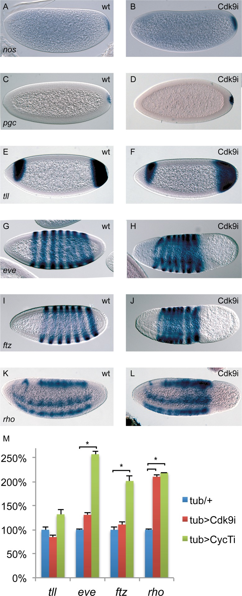 The expression of many patterning genes is relatively normal in P-TEFb embryos. Wild-type embryos ( A, C, E, G, I, K ) and embryos depleted of maternal Cdk9 ( B, D, F, H, J, L ) were hybridized with probes detecting nanos (nos) , polar granule component (pgc) , tailless (tll) , even-skipped (eve) , fushi-tarazu (ftz) , and rhomboid (rho) RNA. Relatively normal expression patterns were observed in Cdk9 embryos. ( M ) Expression of tll , eve , ftz , and rho in 2–4h P-TEFb embryos quantified by RT-qPCR (n = 4–6). Relative expression was normalized to a mean of four reference genes as described in Fig. 3 . *indicates P