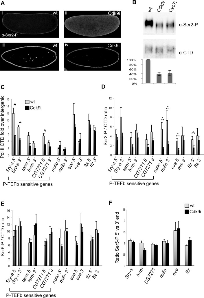 Pol II occupancy is reduced at genes affected by P-TEFb depletion. ( A ) Confocal images of wild-type embryos (i, iii) and embryos depleted of maternal Cdk9 (ii, iv) stained with an antibody recognizing phosphorylated Pol II CTD Ser2 (Ser2-P, Abcam ab5095). In pre-cellular embryos, an elevated Ser2-P signal was observed in the cytoplasm in Cdk9 embryos (ii) compared to wild-type (i), indicating that the maternal contribution of Ser2 phosphorylated Pol II was increased in Cdk9 embryos. In cellularizing embryos, less Ser2-P was detected in nuclei of Cdk9 embryos (iv) compared to wild-type nuclei (iii). ( B ) Western blot with extracts from 0–5h old embryos show a decrease in Ser2-P in embryos depleted of maternal Cdk9 or CycT. The monoclonal antibody 8WG16 recognizing the Pol II CTD was used as a loading control. The ratio of Ser2-P to CTD signal was quantified from 3 biological replicates. ( C-F ) Chromatin immunoprecipitation-quantitative PCR (ChIP-qPCR) of 2–4h wild-type or Cdk9 embryo extracts using antibodies recognizing the Pol II CTD, Pol II Ser2 phosphorylation, and Pol II Ser5 phosphorylation. ( C) Pol II occupancy plotted as CTD enrichment relative the intergenic locus IG2c. Less Pol II associates with Sry-α and CG7271 in Cdk9 embryos. ( D ) Less Ser2-P per CTD was observed in Cdk9 embryos compared to wild-type. ( E ) The Ser5-P/CTD ratio was comparable in wild-type and Cdk9 embryos. ( F ) The ratio of Pol II Ser-5 signal at the 5' end versus the 3' end. No increase at the 5' end was detected in Cdk9 embryos. Error bars show standard error of the mean (n = 3–5). * indicates P