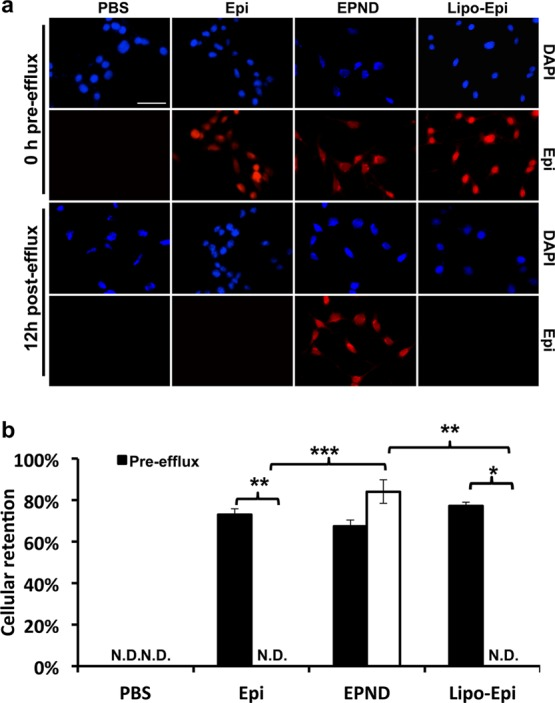 Cellular drug retention in hepatic tumor cell line of EPND and Epirubicin. (a) Representative images of cellular drug retention in LT2-MYC cells by fluorescent microscopy. LT2-MYC cells treated with Epirubicin (Epi) (35 μM), EPND (35 μM) or Liposomal–Epirubicin (Lipo-Epi) (35 μM) for 1 h before 12 h efflux. Blue and red fluorescent signals represent diamidino-2-phenylindole (DAPI) staining and Epirubicin, respectively. Scale bar (white), 50 μm. (b) Cellular retention is quantified by percent of drug retention normalized to DAPI signal ( n = 3). Data are represented as mean ± SD; *, p