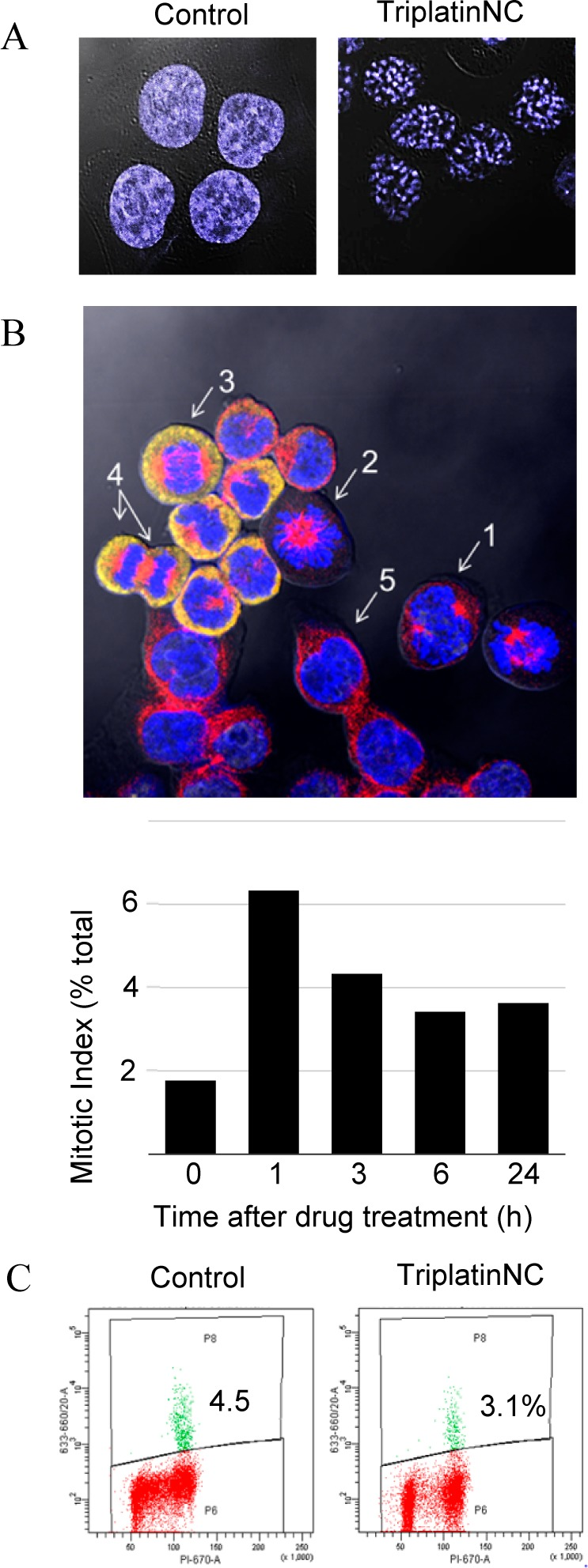 (A) Confocal microscopy; HCT116 cells were stained with DAPI after treatment with 20 μM TriplatinNC for 24 h and visualized by confocal microscopy. (B) (Top) Mitotic index assay; image of (1) early pro-metaphase, (2) late pro-metaphase, (3) anaphase, (4) late anaphase/telophase, and (5) interphase as determined by DAPI DNA stain (blue); β-tubulin (red); and nucleophosmin/B23 (yellow) immunostaining. (Bottom) The mitotic index was derived as the number of cells in all mitotic phases combined (P + M + A + T) and divided by the total number of cells. n > 500 cells per time treatment ( > 1000 cells counted total for two repeat experiments). (C) Mitotic checkpoint assay; HCT116 were treated with or without 20 μM TriplatinNC, fixed, and incubated with phospho-histone H3 (Ser10), followed by <t>antirabbit</t> <t>Alexa</t> 647 secondary antibody and PI staining. Ten thousand events were analyzed by flow cytometry. Shown is a representative of two independent experiments.