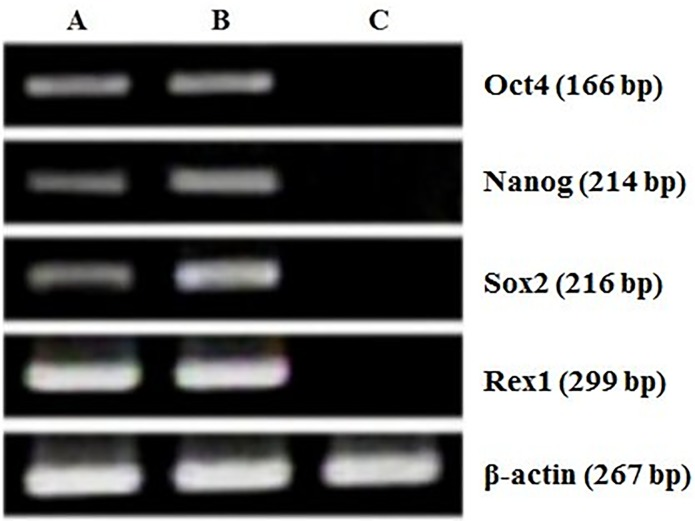 Characterization of ntES cells by real time RT-PCR analysis. Expressions of Oct4, Nanog, Sox2, and Rex01genes in (A) PES1 at passages 8, (B) PES3 at passages 15 and (C) pig fibroblast cells.