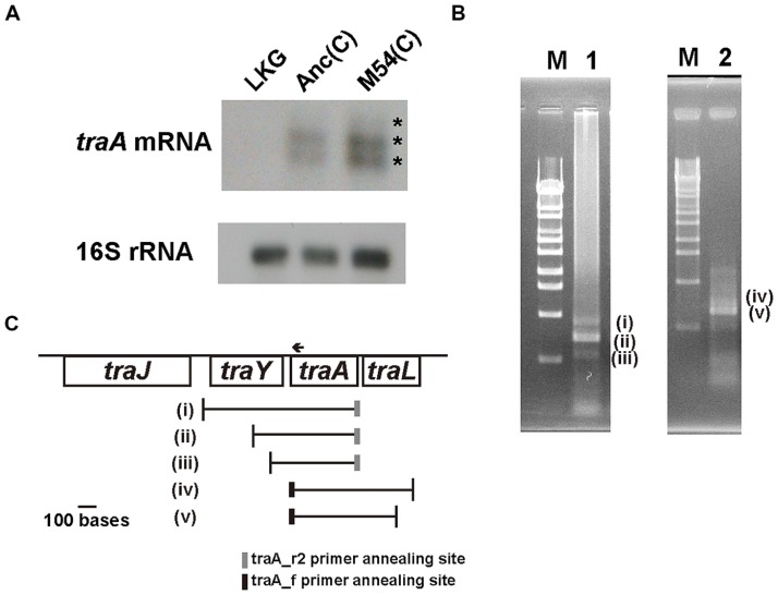 mRNA of traA gene analysis. (A) Northern hybridization for traA mRNA and 16S rRNA using the total RNA of LKG/pASK-IBA3plus; left, Anc(C)/pASK-IBA3plus; middle, M54(C)/pASK-IBA3plus; right. The upper and lower figures are X-ray films of traA mRNA and 16S rRNA, respectively. The asterisks (*) indicate the three signals (one weak and two strong). (B) RT-PCR for Anc(C)/pASK-IBA3plus to determine the 5′- and 3′-terminal sequences of traA mRNA. Lambda DNA digested with Sty I was used as a molecular size marker; lane M. RT-PCR products for determination of the 5′-terminus. The three bands were designated as (i), (ii), and (iii), respectively; lane 1. RT-PCR products for determination of the 3′-terminus. The two bands were designated as (iv) and (v), respectively; lane 2. (C) Schematic representations of the start and end positions of traA mRNA. The vertical lines represent the positions of 5′- and 3′-terminal sequences of (i)–(v) shown in (B) . The gray and black boxes represent the positions of traA_r2 and traA_f primer annealing sites in RT-PCR. The arrow represents the position of the traA1 probe annealing site for Northern hybridization.
