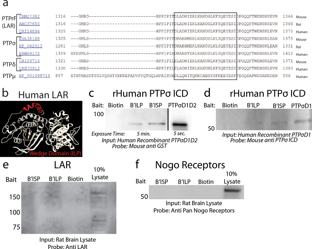 LAR structure, sequence alignment and pulldown analysis A: BLAST alignment of the known sequences of mouse, rat and human LAR, PTPσ, PTPδ and PTPµ. The wedge domain of each protein is aligned within the box. B: The tandem intracellular phosphatase domains of human LAR with the previously characterized wedge domain (red) 14 . C-D: Pulldown of recombinant PTPσ with <t>biotinylated</t> ISP or ILP. E-F : Eluted lysate following pulldown was probed with antibodies against either LAR or pan-Nogo receptors. Input is 10% lysate control.