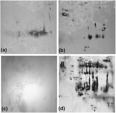 Western blot results following 2-DE. (a) normal pooled sera probed with normal pooled sera, (b) normal pooled sera probed with P. knowlesi pooled sera, (c) P. knowlesi pooled sera probed with normal pooled sera, (d) P. knowlesi pooled sera probed with P. knowlesi pooled sera, Unfractionated, pooled serum samples from patients and normal controls were subjected to 2-DE, transferred onto nitrocellulose membranes, and probed with pooled sera (as primary antibody) followed by monoclonal anti-human IgM-HRP (as secondary antibody).
