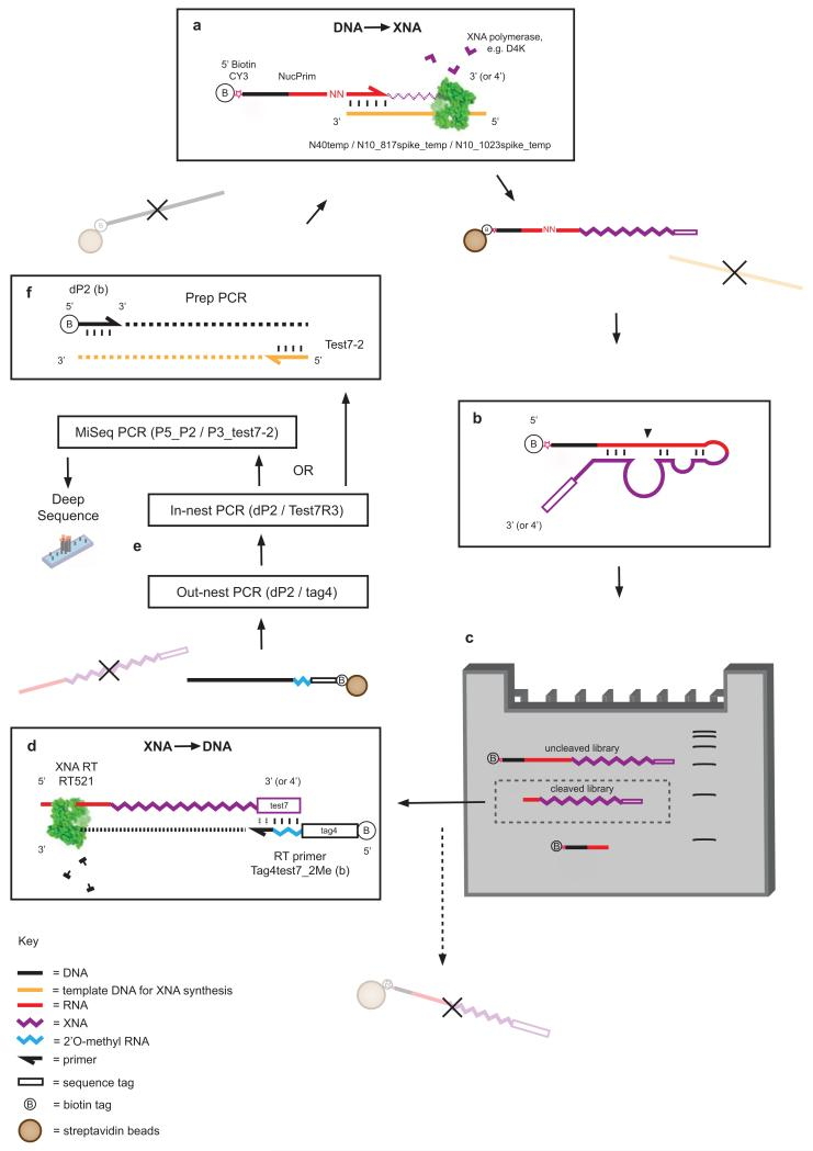 Selection scheme for RNA endonuclease XNAzymes a , XNA library preparation using DNA-dependent XNA polymerases, primed by a biotinylated chimeric DNA-RNA primer (NucPrim), which serves as substrate for RNA cleavage in cis . Libraries are captured by streptavidin beads, allowing denaturation and removal of DNA templates. b , Single-stranded libraries are annealed and incubated in reaction buffer (see Methods ), successful XNAzymes cleave the biotinylated RNA substrate in cis . c , Size separation of reacted XNA pools using denaturing polyacrylamide electrophoresis (Urea-PAGE). Cleaved XNA pools are gel-extracted from the gel and incubated with streptavidin beads to deplete any uncleaved carry-over. d , Reverse transcription of isolated, cleaved XNA pools using XNA-dependent DNA polymerase RT521L (i.e. XNA - > cDNA). e , Amplification of transcribed cDNA by successive PCR reactions. f , PCR reaction generating templates for XNA synthesis for further rounds of selection.