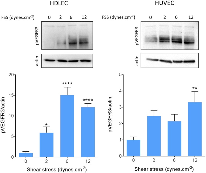 VEGFR3 activation by shear stress. HDLECs (left) and HUVECs (right) were stimulated for 15 min with shear stress at the indicated levels. VEGFR3 transactivation was assayed by phosphorylation on Y1230, detected by Western blotting with pY1230 antibody (n = 5 independent experiments; *: p
