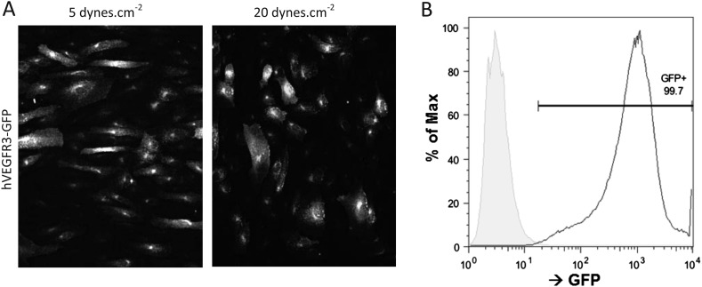 ( A ) Representative pictures of HUVEC cells expressing hVEGFR3-GFP (GFP signal displayed) after 16 hr of stimulation at 5 and 20 dynes.cm −2 . Flow direction is from left to right. ( B ) FACS analysis of the GFP signal from HUVEC (grey) and HUVEC infected with VEGFR3-GFP (GFP+). DOI: http://dx.doi.org/10.7554/eLife.04645.009