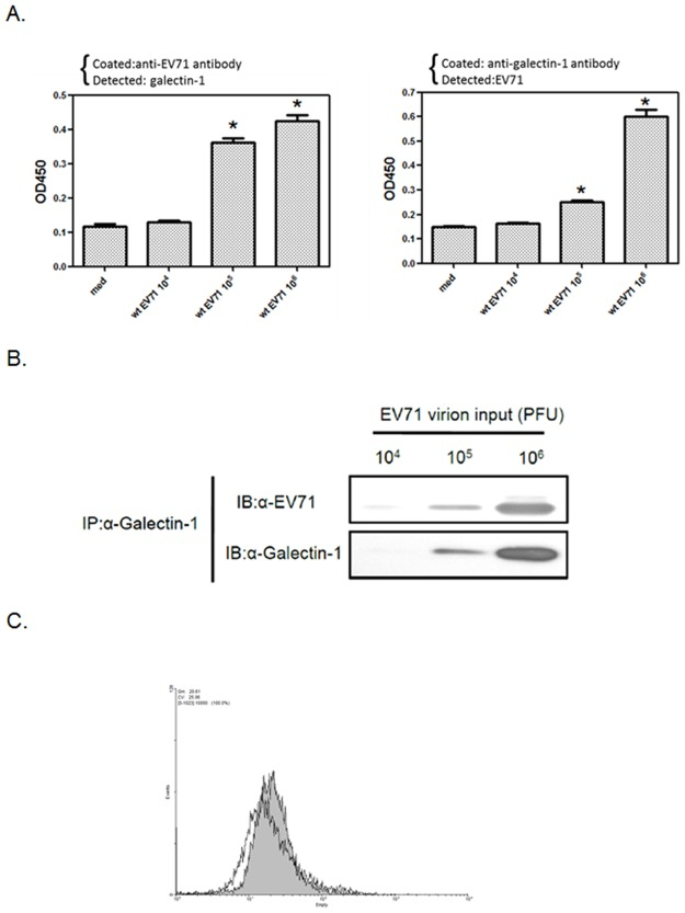 Galectin-1 is associated with released EV71 virions. (A) Detection of galectin-1/EV71 virion complexes by ELISA. EV71 viruses in 10-fold serial dilutions from 10 6 to 10 4 PFU were added to anti-EV71 antibody-coated (left panel) or anti-galectin-1 antibody-coated (right panel) 96-well plates to detect galectin-1 or EV71, respectively. *p