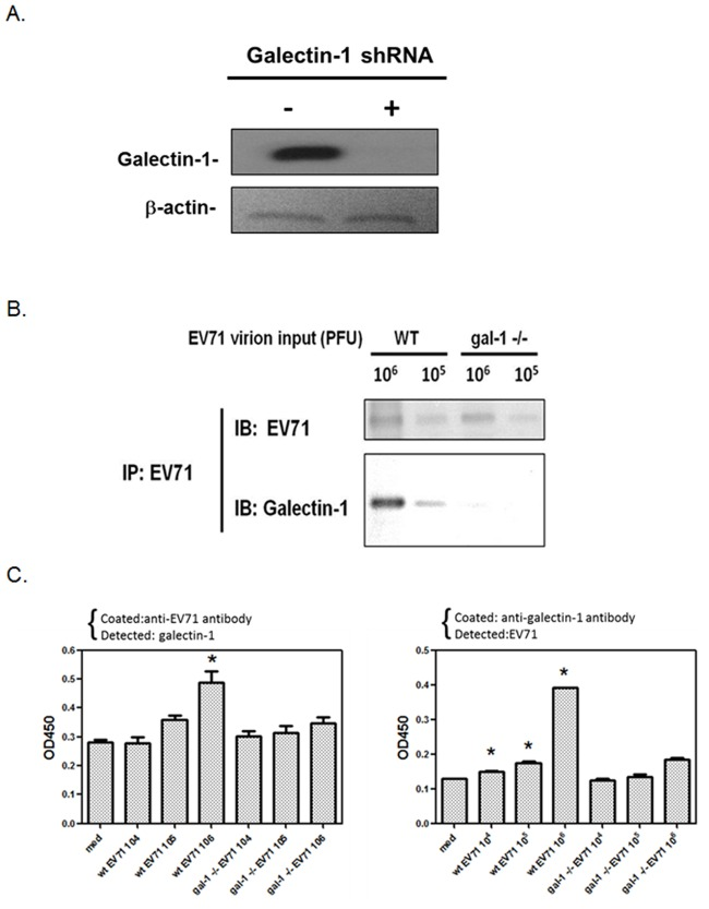 EV71 viruses propagated from galectin-1 silenced cells do not carry galectin-1. (A) Galectin-1 is silenced by lentiviral vector-based shRNA. SK-N-SH cells were infected with lentiviruses encoding a galectin-1 shRNA for 48 h. The silencing of galectin-1 in SK-N-SH cells was determined by Western blotting. (B) Co-immunoprecipitation of WT EV71 or galetin-1 -/- EV71 virus with galectin-1. WT or galectin-1 -/- EV71 viruses were immunoprecipitated by anti-EV71 antibody. The expressions of galectin-1 and EV71 were analyzed by Western blotting. (C) Detection of galectin-1 on WT or galectinl-1 -/- EV71 viruses by ELISA. EV71 in 10 fold serial dilutions from 10 6 to 10 4 PFU was added to anti-EV71 antibody-coated (left panel) or anti-galectin-1 antibody-coated (right panel) 96-well plate to detect galectin-1 or EV71, respectively. *p