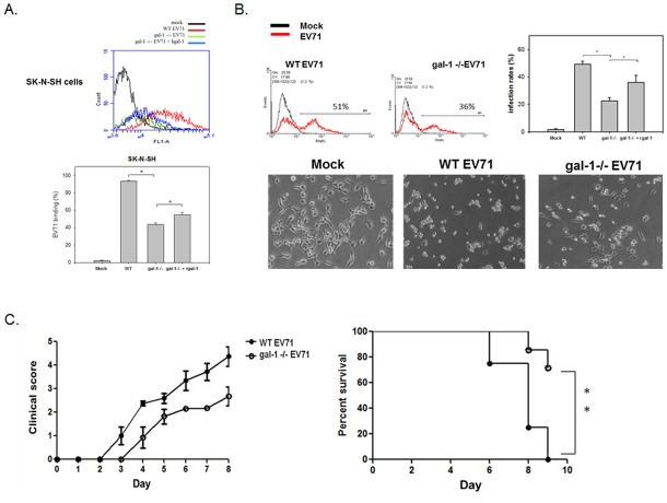 Galectin-1-/- EV71 shows less cellular binding, infectivity, mice neurological syndromes, and mortality. (A) Galectin-1-/- EV71 viruses reduce their cell binding activity. SK-N-SH cells were incubated with WT, galectin-1 -/- EV71 or galectin-1 -/- EV71 viruses with recombinant galectin-1 (25 ng/ml) at 4°C (MOI = 100) for 3 h. The surface-bound EV71 was detected by anti-EV71 antibody and hence analyzed by flow cytometry. *p