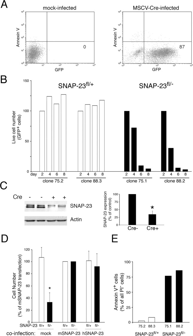 Deletion of SNAP-23 leads to acute death of MEFs. MEF lines were generated from SNAP-23 fl/+ mice (clones 75.1 and 88.2) or SNAP-23 fl/- mice (clones 75.2 and 88.3). (A) Infection of a typical SNAP-23 fl/+ MEF culture infected with empty retrovirus (left panel) or GFP-Cre retrovirus (right panel) shows that two days after infection the vast majority of MEFs were viable (Annexin V - ) and expressed GFP-Cre. (B) The indicated MEF lines were infected with GFP-Cre-expressing retrovirus and the number of live cells present in each culture (based on staining with PI) was determined at different times. The absolute cell recovery in each condition was expressed relative to the amount of cells present two days after infection (control experiments showed that there was no Cre-dependent cell death in any line after only two days of infection). The data shown are representative of two independent experiments analyzed at day 2, 4, 6, 8 and one experiment analyzed at day 1, 3, 5, 7. (C) Adherent SNAP-23 fl/- MEFs were isolated 4 days after retroviral transduction with Cre (Cre+) or after mock-transduction (Cre-). Equal numbers of cells from each culture were analyzed by SDS-PAGE and immunoblotting using a SNAP-23 antibody. The blot was re-probed for anti-β actin mAb as a loading control. The amount of SNAP-23 present in each cell lysate was normalized to the amount of actin present and the data shown are mean +/- SD of three independent experiments (*p