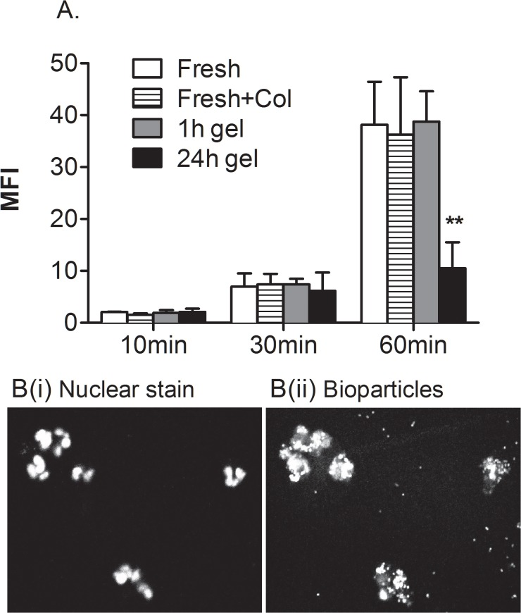 Effects of migration and culture on phagocytosis by neutrophils. Neutrophil phagocytosis was analysed by measuring intensity of fluorescence of cells incubated with pHrodo E. coli BioParticles. Freshly isolated neutrophils (without or with collagenase treatment) were compared to neutrophils recovered from a gel 1h or 24 h after migrating through EC treated with 100U/ml TNF. A. Samples were incubated with bioparticles for 10, 30 or 60min before being fixed for flow cytometry. B. Confocal microscopic images of neutrophils recovered after 1h and incubated with bioparticles for 60min, imaged in the same plane for (i) bisbenzamide-stained nuclei or (ii) fluorescent intracellular bioparticles. Data are mean ± SEM from 3 experiments. ** = p