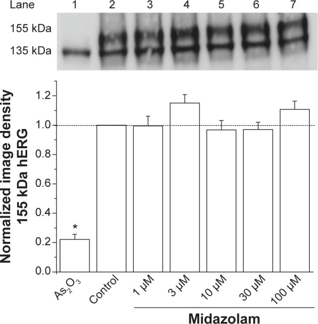 <t>Midazolam</t> does not attenuate hERG channel surface expression. Effects of midazolam on channel surface expression analyzed by the Western blot technique (upper panel). Image density of the 155 kDa hERG form divided by the 135 kDa hERG form was determined to quantify channel surface expression (lower panel). Incubation with 100 μM As 2 O 3 served as a positive control. Compared with control conditions (lane 2), increasing midazolam concentrations (lanes 3–7) did not result in a significant change of channel surface expression. Abbreviation: hERG, human ether-à-go-go-related gene.