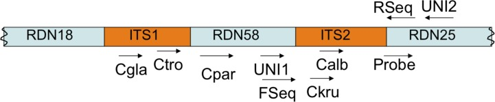 Organization of fungal rDNA locus and regions targeted by oligonucleotide probe and primers. Primers UNI1, UNI2, and Cspecies, and probe are used in the qPCR strategy. Primers Fseq and Rseq are used to generate amplicons for sequencing. Cgla, C . glabrata ; Ctro, C . tropicalis ; Cpar, C . parapsilosis ; Ckru, C . krusei ; Calb, C . albicans . Locus depiction is not to scale. Primer sequences are given in Table 1 .