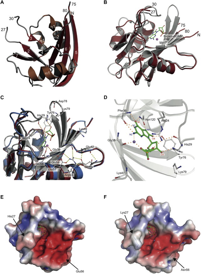 (A) Ribbon diagram of the Vc MutT X-ray structure with β-strands in firebrick red, α-helices in brown and loops in grey. (B) Homology model of Vc MutT-closed (grey) made from Ec <t>MutT-8-oxo-dGTP-Mn</t> superimposed on Vc MutT (firebrick red). 8-oxo-dGMP and Mn 2+ are modelled from the Ec MutT-8-oxo-dGTP-Mn structure. (C) Hydrogen bonding interactions between 8-oxo-dGMP and Vc MutT (crystal structure in firebrick red and closed homology model in grey). The super imposed As MutT models (closed in dark-grey and open in sky-blue) are also shown. Residues involved in Mn 2+ coordination and residues promoting conformational stabilization to the enzymes structure are indicated. (D) Hydrogen bonds between the Vc MutT-closed model and 8-oxo-dGMP. Electrostatic surface of the homology model of (E) Vc MutT-closed and (F) As MutT-closed with important residue differences highlighted. (For interpretation of the references to colour in this figure legend, the reader is referred to the web version of this article.)