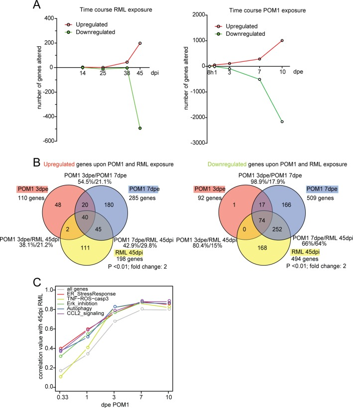The transcriptome of RML-infected and POM1-treated COCS. ( A ) The number of genes upregulated or downregulated at various time points after RML infection (left) or exposure to POM1 (right). Upregulation or downregulation was defined as > 2-fold change over NBH-exposed (left) or pooled-IgG exposed (right) COCS at the same time point. In both paradigms, the total number of differentially expressed genes increased over time. ( B ) Overlap of upregulated (left) and downregulated (right) genes in RML-infected vs. POM1-exposed COCS. The two paradigms shared 80% of downregulated and 38% of upregulated genes when comparing 3dpe GDL and 45dpi RML. ( C ) Correlation coefficients (y-axis) of all genes and genes involved in specific signaling pathways between POM1 exposure at different time points (x-axis) and RML exposure at 45 dpi.