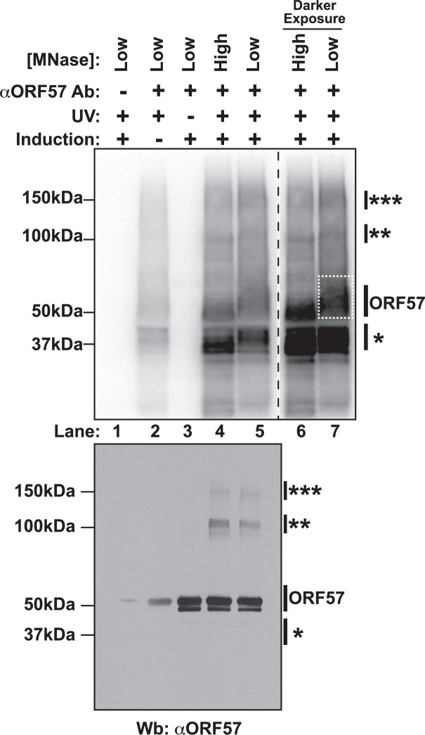 Isolation of cross-linked ORF57-RNA complexes for HITS-CLIP analysis. Top Nitrocellulose membrane from an ORF57 immunoprecipitation performed under HITS-CLIP conditions. Cross-linked RNA fragments were end-labeled with 32 P to be visualized by Phosphoimager. Cells were induced to undergo lytic reactivation, exposed to UV and/or treated with high or low concentrations of MNase as indicated. The samples lacking an ORF57 antibody (lane 1) were precipitated with pre-bleed antibodies from the same rabbit. Lanes 6 and 7 are a dark exposure of lanes 4 and 5. The dashed white box indicates the position of the ORF57 complex cut from the membrane for library preparation. Bottom Western blot of the same HITS-CLIP samples shown in the top panel. Affinity purified rabbit anti-ORF57 was used to detect ORF57. Positions of molecular weight markers are shown on the left. On the right, a single asterisk marks the position of a contaminating ~37 kDa protein; double and triple asterisks mark positions of putative ORF57 homodimers and homotrimers bound to the same RNA. The doublet is likely due to an ORF57 cleavage product [ 104 ].