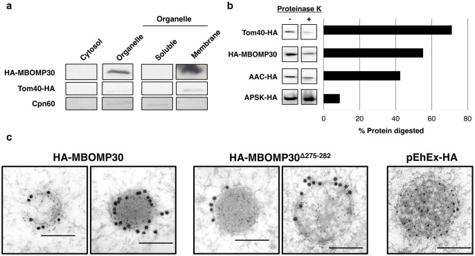 Mitosomal membrane localization of MBOMP30. (a) Na 2 CO 3  fractionation. Homogenates from amoebae expressing HA-MBOMP30 and Tom40-HA were fractionated. The organelle fraction was treated with Na 2 CO 3  and NaCl to lyse the organelle and liberate loosely bound proteins. The resulting fractions were separated on SDS-PAGE followed by immunoblotting. Parts of the full-length immunoblot for the anti-HA (first two rows) and anti-Cpn60 (last row) antibody reactions are shown respectively. Tom40-HA and Cpn60 serve as control for mitosomal BOMP and soluble mitosomal protein, respectively. The original blots are shown in  Supplementary Fig. S4a–b . (b) Proteinase K protection assay. Cropped immunoblots of proteinase K-treated (+) and untreated (−) organelle fractions are shown on the left panel, with the corresponding ratio of protein digestion on the right panel (See full-length immunoblots on  Supplementary Fig. S4c ) (c) Immunoelectron microscopy. Immunodecoration of mitosomes of HA-MBOMP30, HA-MBOMP30 Δ275–282 , and control trophozoites with anti-HA (15 nm gold particles) and anti-Cpn60 antibodies (5 nm gold particles) showed electron-dense organelles surrounded by double membranes [scale bar, 200nm].