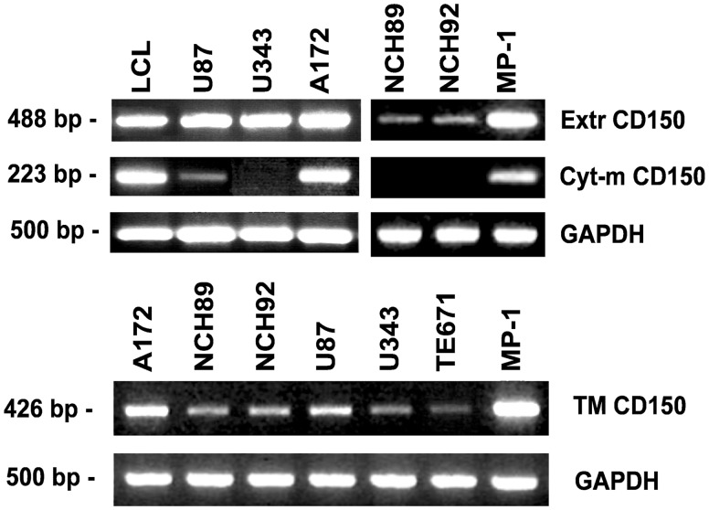 Expression of different domains of CD150 in glioma cell lines. Specific primers to the extracellular (Extr CD150), cytoplasmic (Cyt-m CD150) and transmembrane plus cytoplasmic (TM CD150) parts of CD150 were used for RT-PCR analysis of CD150 expression. LCL and MP-1 cells were taken for positive control. The quality and quantity of cDNA was monitored by GAPDH expression. CD150 extracellular and transmembrane domains on mRNA level were detected in all studied glioma cell lines, while cytoplasmic domain was found only in U87 and A172 cell lines. One of more than five representative experiments.