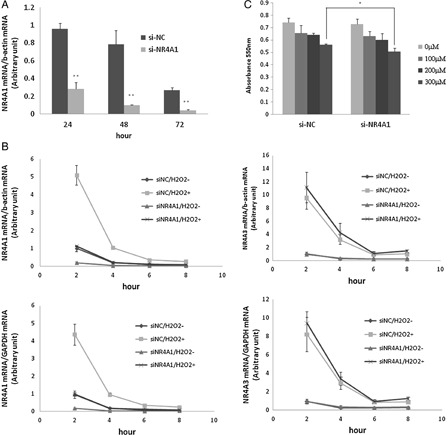 Effect of si-NR4A1 on mRNA expression and cell growth. (A) HUC-F2 cells were cultured with 10 nM siRNA and 0.2% Lipofectamine 2000 in <t>α-MEM</t> containing 10% fetal bovine serum and 150 IU/ml to 100 μg/ml penicillin to streptomycin medium for 24, 48, and 72 hours in 5% CO 2 . Real-time PCR analysis showed that NR4A1 expression is reduced by 70.4, 87.2, and 83.7%, respectively. (B) HUC-F2 cells were transfected with si-NR4A1 for 48 hours and treated with 200μM H 2 O 2 for 2–8 hours. Expression levels of NR4A1 and NR4A3 were determined using real-time PCR. Normalization of data was achieved by quantitating the cycle time at an arbitrary fluorescence intensity in the linear exponential phase using StepOnePlus Real-Time system software by calculating the ratio of the concentration of each enzyme relative to that of β-actin and GAPDH cDNA, respectively. (C) Effects of the H 2 O 2 concentration on the HUC-F2 cells treated with si-NR4A1 were determined with the MTT assay. Specifically, HUC-F2 cells were transfected with si-NR4A1 or si-NC, incubated in 5% CO 2 for 48 hours, and treated with H 2 O 2 . After 24 hours, cell viability was assessed with the MTT assay. Results are presented as mean ± standard deviation of three samples in each treatment group. The differences between the groups were analyzed by ANOVA with Fisher's PLSD post hoc method. * P
