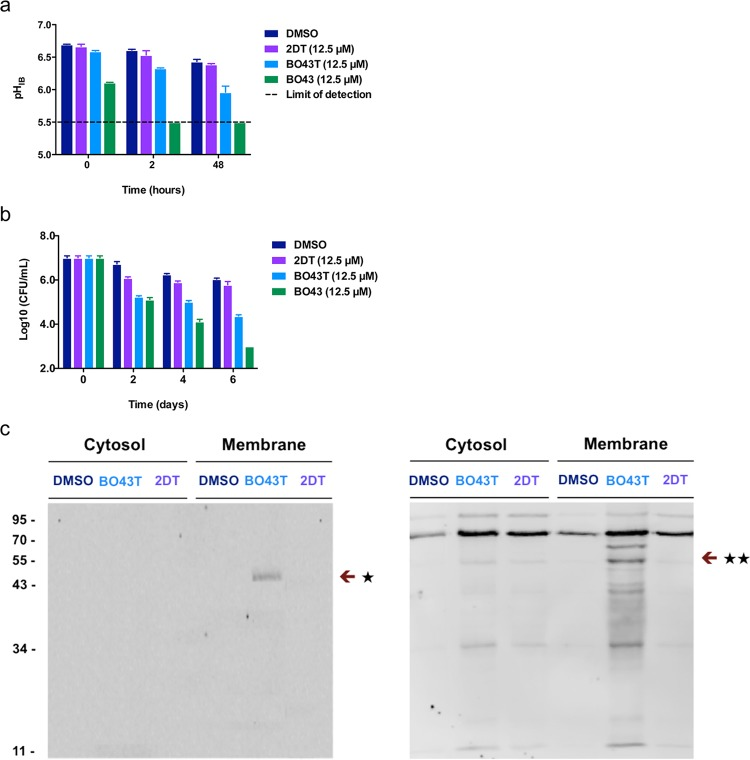 BO43T probe to identify additional targets of BO43. (a) pH IB activity of BO43, BO43T, and 2DT on BCG at pH 4.5. (b) CFU activity of BO43, BO43T, and 2DT on BCG at pH 4.5. (c) MarP immunoblot (left) and streptavidin-fluorescence (right) of BO43T treated BCG following in situ labeling and pull-down; ★ indicates MarP homologue (Mb3695c), ★★ indicates HtrA1 homologue (Mb1255). Means ± S. E. M. of triplicate samples shown in a and b represent three independent experiments. Some error bars are smaller than the symbols.