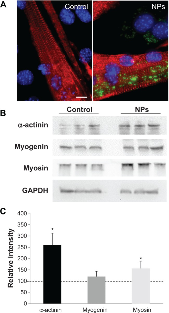 Effect of NPs on the expression of muscle specific markers in myotubes. Notes: ( A ) Fluorescence images of myotubes after incubation with and without NPs. Red, staining of alpha-actinin characteristic of the sarcomeric organization of myofibers; blue, Hoechst stained-nuclei. Scale bar, 1 μm. ( B ) Expression of muscle-specific markers. After myoblast treatment with NPs, proteins were extracted from myotubes at day 7 of differentiation and subjected to <t>sodium</t> <t>dodecyl</t> <t>sulfate</t> <t>polyacrylamide</t> <t>gel</t> <t>electrophoresis.</t> Immunodetection was carried out using specific antibodies against alpha-actinin, myosin heavy chain, and myogenin. Glyceraldehyde-3-phosphate dehydrogenase was used as a loading control. ( C ) The level of the different proteins was quantified and expressed as a percentage of the level obtained in the untreated control cells. Bars on the graph represent the standard error of the mean. *Significantly different from the control ( P ≤0.05). Abbreviation: NP, silica nanoparticle.